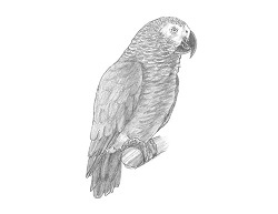 How to Draw an African Grey Parrot Bird