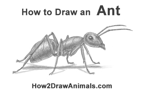 How to Draw Carpenter Pavement House Ant Insect Bug