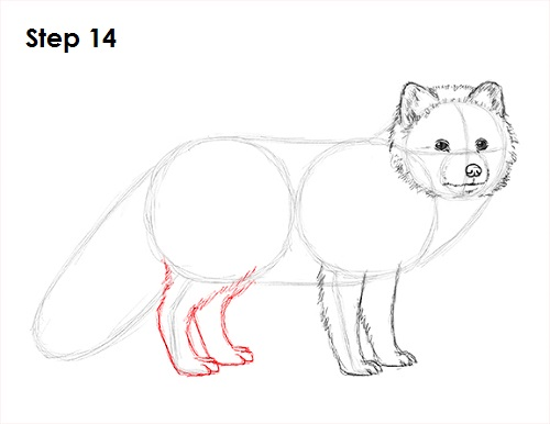 Draw Arctic Fox 14