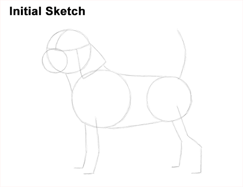 Draw Beagle Dog Initial Sketch