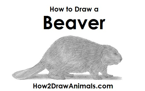 How to Draw a Beaver