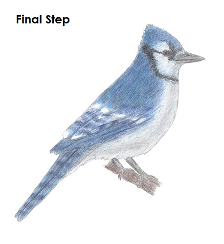 Draw Blue Jay Complete