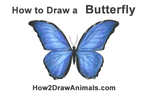 How to Draw a Blue Morpho Butterlfy