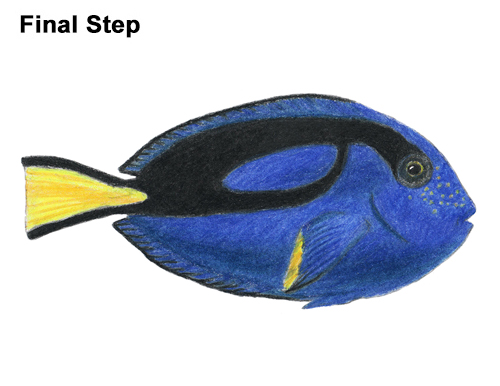 How to draw a regal blue tang fish for Royal blue tang fish