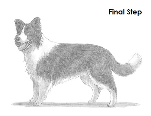 draw a border collie dog