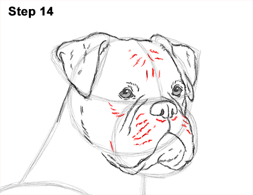 boxer dog face drawing photo25