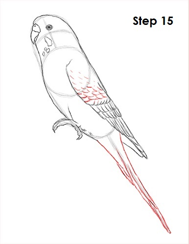 Draw Parakeet Bird 15