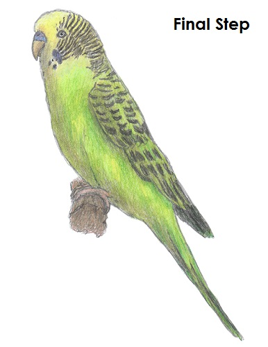 How to draw a budgie parakeet - Dessin perruche ...