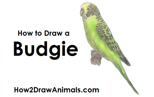 How To Draw A Budgie Parakeet