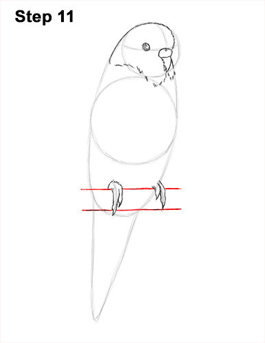 How to Draw Cute Budige Budgerigar Parakeet Bird Color Blue 11