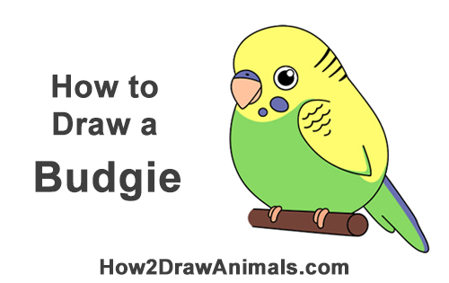 How to Draw Cute Cartoon Budgie Budgerigar Parakeet Bird