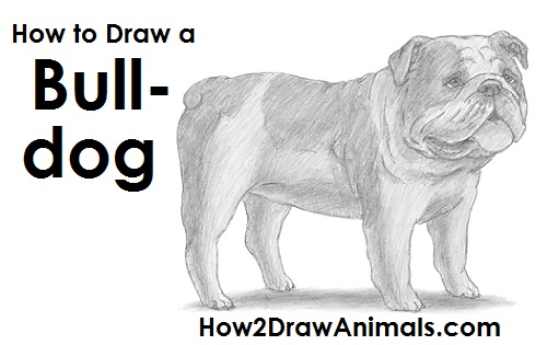 Bulldog drawing step by step