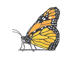 How to Draw a Monarch Butterfly Side View