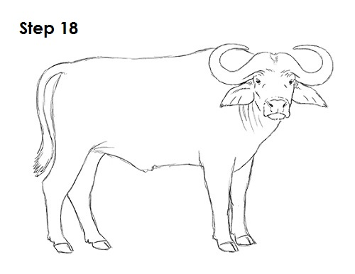 Draw African Cape Buffalo 18