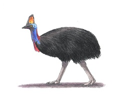 How to Draw a Australian Southern Cassowary