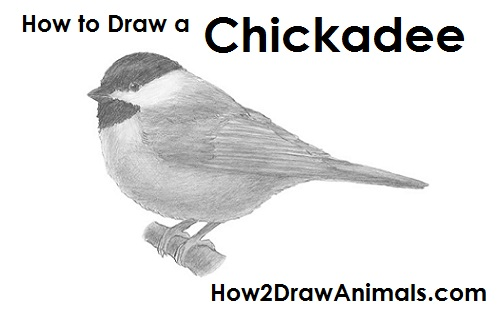 Draw Chickadee Bird