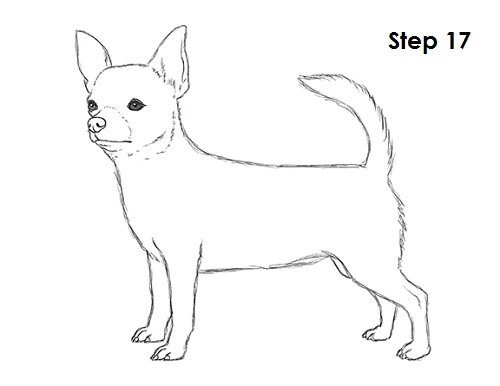 Line Drawing How To : How to draw a chihuahua