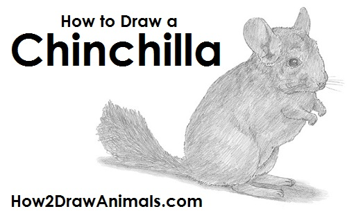 Draw Chinchilla