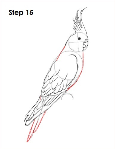 Draw a Cockatiel 15