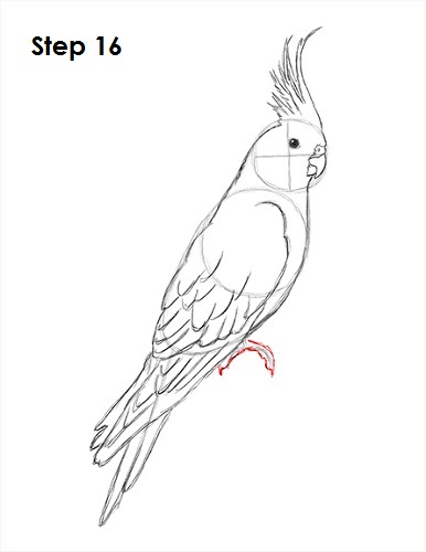 Draw a Cockatiel 16