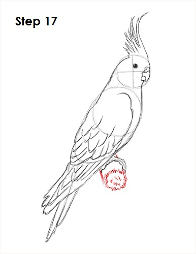 Draw a Cockatiel 17