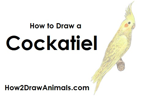 Draw Cockatiel Bird