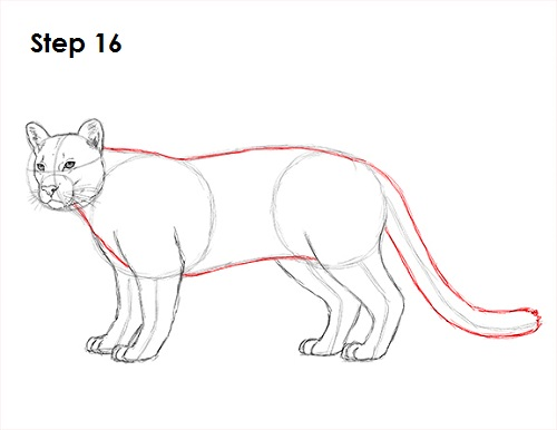 Draw Cougar Cat 16