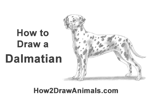 How to Draw Dalmatian Puppy Dog Spots