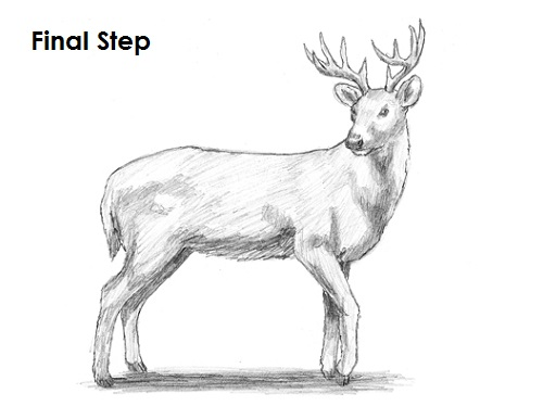 How to Draw a WhiteTailed Deer