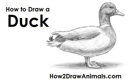draw duck