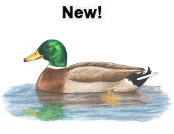 How to Draw a Male Mallard Duck Color Swimming Water