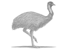 How to Draw an Emu