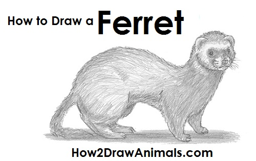 please pause the how to draw a ferret video after each step to draw at your own pace