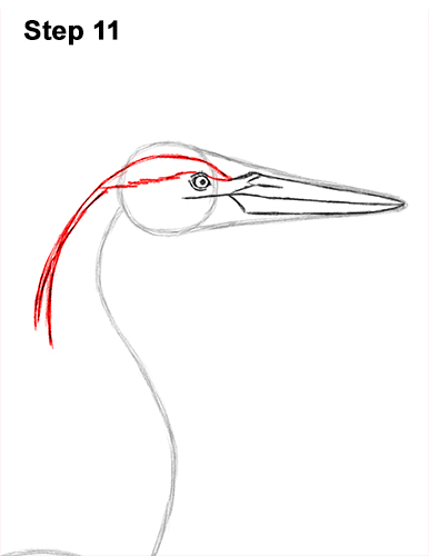 How to Draw Great Blue Heron Bird 11
