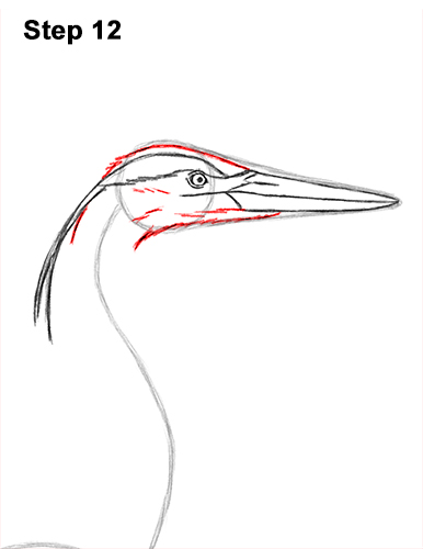 How to Draw Great Blue Heron Bird 12