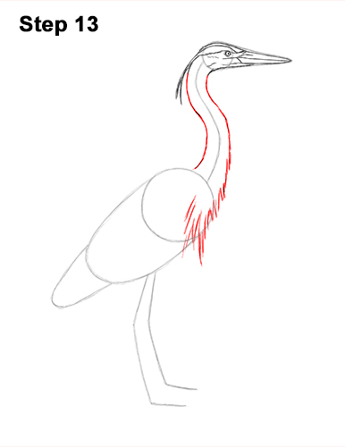 How to Draw Great Blue Heron Bird 13