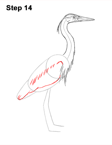How to Draw Great Blue Heron Bird 14