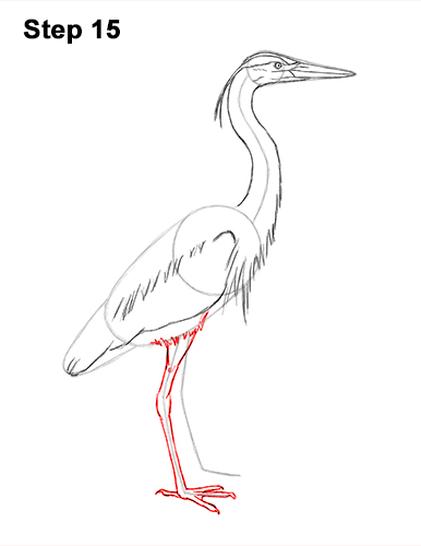 How to Draw Great Blue Heron Bird 15