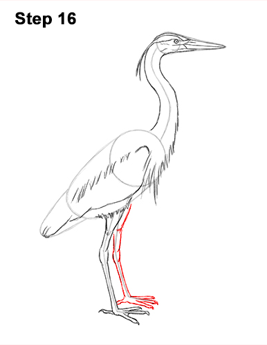 How to Draw Great Blue Heron Bird 16