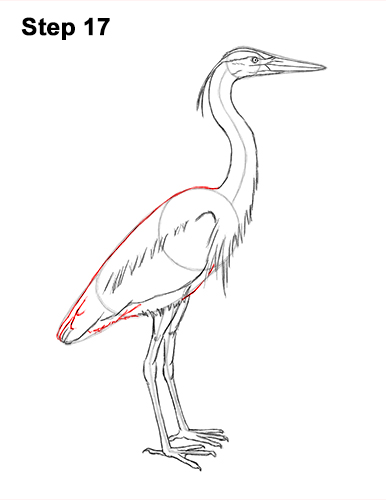 How to Draw Great Blue Heron Bird 17