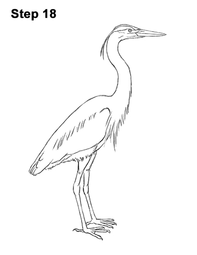 How to Draw Great Blue Heron Bird 18