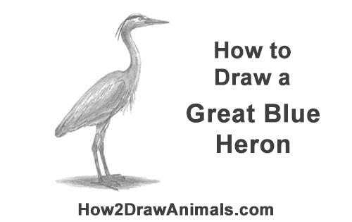 how to draw a great blue heron video amp stepbystep pictures