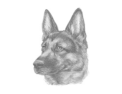 How to Draw a German Shepherd Head Face Portrait