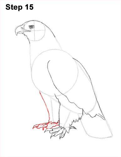 Draw Golden Eagle Bird 15