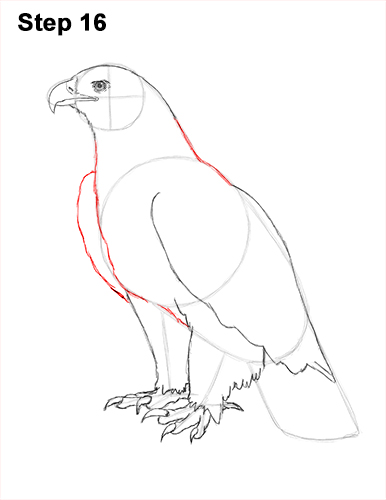 Draw Golden Eagle Bird 16