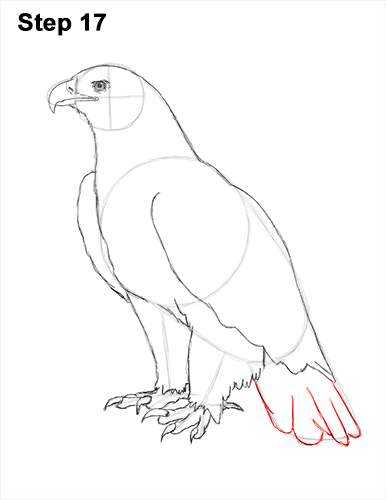 Draw Golden Eagle Bird 17