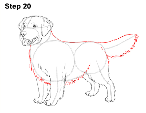 How to Draw a Golden Retriever Dog 20