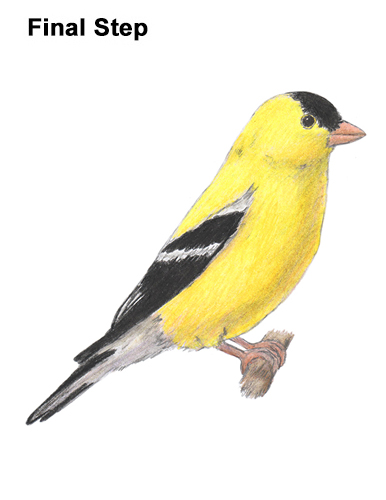 How to Draw a Goldfinch