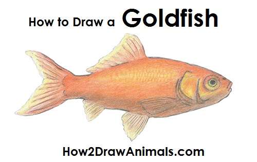 draw goldfish