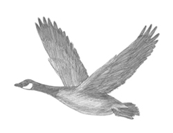 How to Draw a Canadian Goose Flight Wings